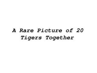 A_Rare_Picture_of_20_Tigers_Together.pps